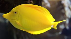 黄色特性鱼(Zebrasoma flavescens)和珊瑚 库存照片