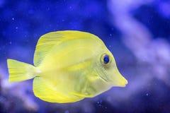 黄色特性- Zebrasoma flavescens 库存图片
