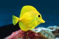 黄色特性Zebrasoma flavescens盐水水族馆鱼 库存图片