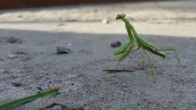 绿色牺牲者螳螂 免版税图库摄影