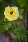黄色狂放的玫瑰色花与绿色夏天 库存照片