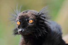 黑色狐猴 免版税库存图片