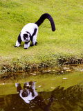 黑色狐猴ruffed白色 免版税图库摄影