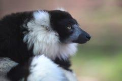 黑色狐猴ruffed白色 库存照片