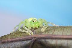 绿色猎人蜘蛛- Gnathopalystes sp 图库摄影