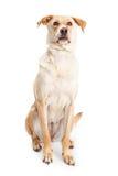 黄色猎犬杂种坐的今后看 库存图片