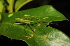 绿色猎蝽若虫 免版税库存照片