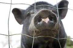 黑色猪 库存图片