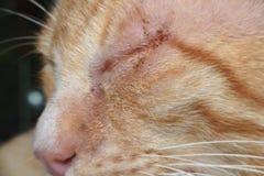 黄色猫是病态和哀伤的宏观看法 库存照片