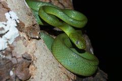 绿色猫目的蛇 库存图片