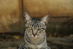 黄色猫眼 库存照片