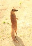 黄色猫鼬 免版税图库摄影