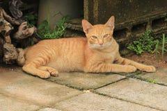 黄色猫 库存图片