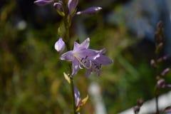紫色玉簪属植物 库存图片