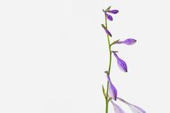 紫色玉簪属植物plantaginea芽 库存图片