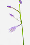 紫色玉簪属植物plantaginea 免版税库存照片