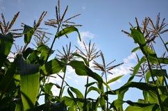 黄色玉米在佛蒙特 免版税库存照片