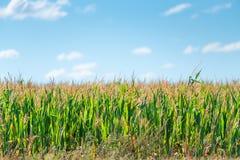 绿色玉米成长在一个领域在一个晴天 库存照片