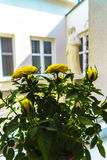 黄色玫瑰作为帮助的一感谢在不愉快的经历 免版税库存照片