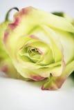 绿色玫瑰关闭与拷贝空间 库存图片