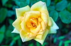 黄色玫瑰在庭院里 免版税库存图片