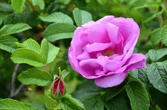 紫色玫瑰在春天 库存图片