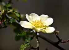黄色玫瑰宏指令,罗莎xanthina 库存图片