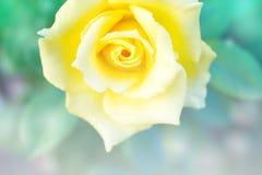 黄色玫瑰抽象背景  免版税库存图片