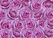 紫色玫瑰背景 免版税库存照片