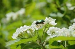 绿色玫瑰色金龟子(Cetonia aurata)在山楂树花 库存图片