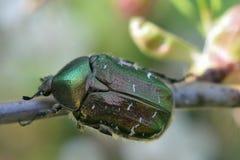 绿色玫瑰色金龟子(Cetonia aurata) 库存照片