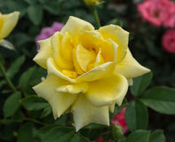 黄色玫瑰花在庭院里 免版税库存照片