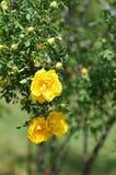 黄色玫瑰花以绿色 免版税库存图片