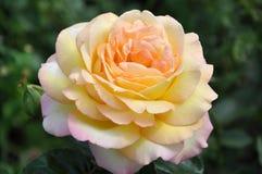 黄色玫瑰花 免版税图库摄影