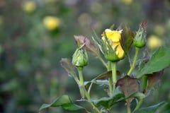 黄色玫瑰芽 库存图片