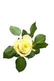 黄色玫瑰顶视图 免版税库存照片