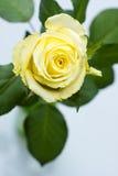 黄色玫瑰顶视图 库存照片