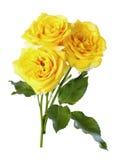 黄色玫瑰,孤立 库存照片