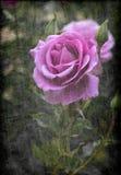紫色玫瑰 图库摄影
