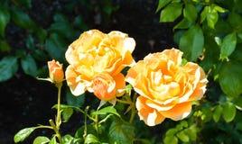 黄色玫瑰 库存照片