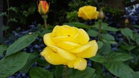 黄色玫瑰 免版税库存照片