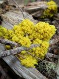 黄色珊瑚菌 免版税库存图片
