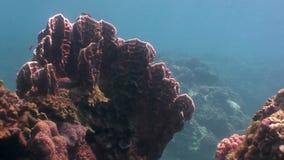 黄色珊瑚水下在野生生物菲律宾海洋  股票录像