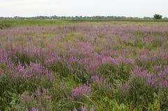紫色珍珠菜入侵的种类 库存图片