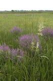 紫色珍珠菜(千屈菜属salicaria) 库存图片