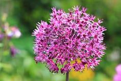 紫色球茎葱属头状花序 库存图片