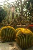 黄色球仙人掌在沙漠庭院里, Nongnuch庭院,芭达亚,泰国 免版税库存图片