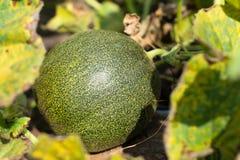 绿色瓜 免版税库存照片