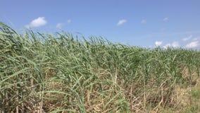 绿色甘蔗领域 股票视频