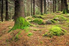 绿色生长在树的北边三叶草和青苔 免版税库存照片